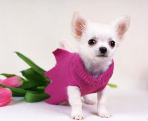chiwawa-dog-pictures