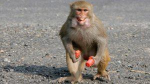 Monkey sees, monkey does